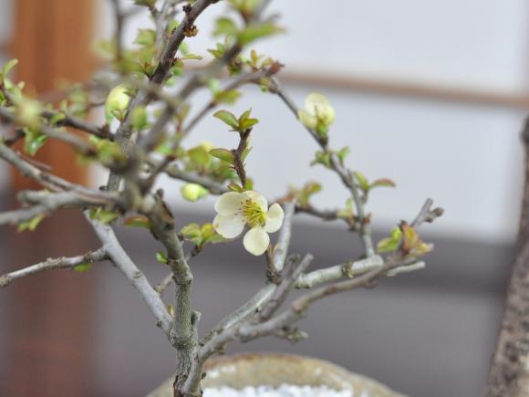藤 中サイズ 白長寿梅寄せ イラボ