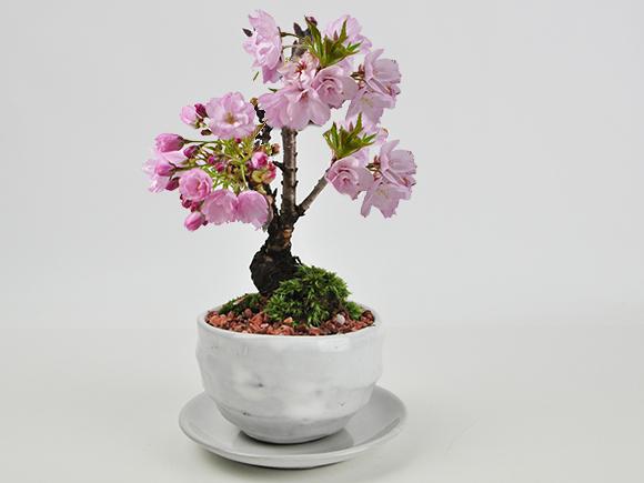 遅咲きの満開桜 5月開花 白丸陶器 万古焼 受け皿付き