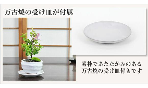 ミニ睡蓮木 白丸陶器鉢 万古焼 受け皿付き