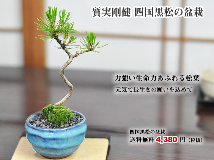 質実剛健の松盆栽