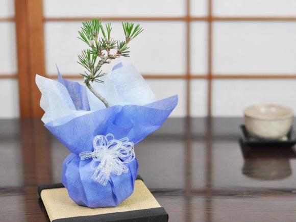 黒松 瑠璃紺和鉢と道具セット天然石の敷物付き