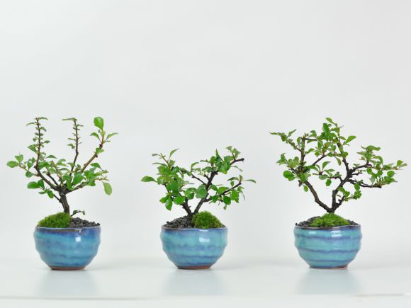 白花長寿梅 瑠璃紺和鉢 天然石の敷物付き