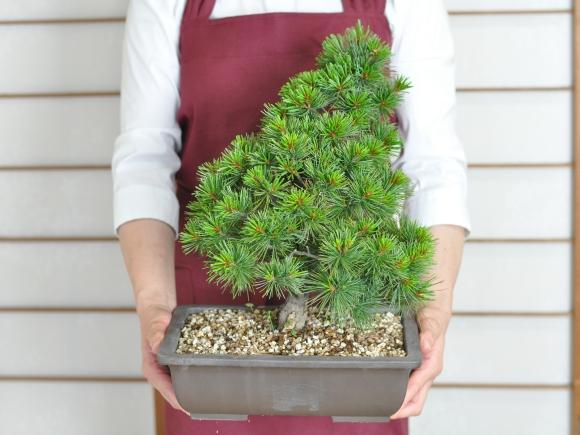 赤石五葉松 素材木