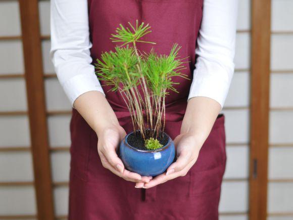 黒松の寄せ植え 万古焼 トルコブルー