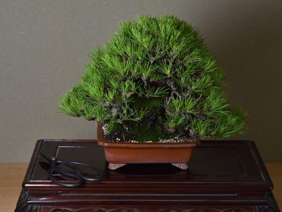 【匠の盆栽】黒松 1点もの No.257【平松浩二】