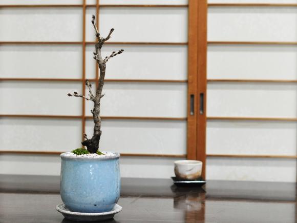 藤 細幹 モダン盆栽  陶器鉢 ステララウンドブルー 受け皿付き