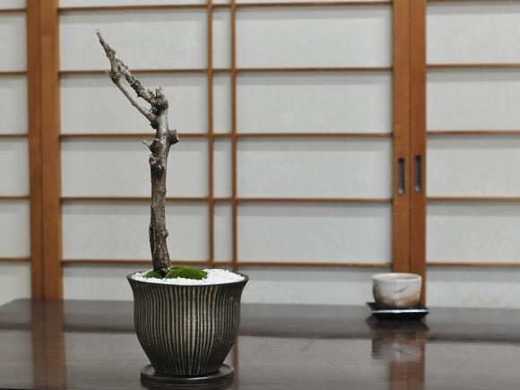 藤 太幹 モダン盆栽  陶器鉢 マルグリット 受け皿付き