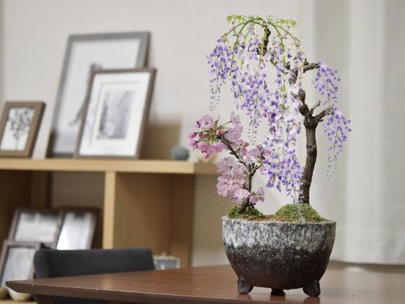 桜と藤の寄植え盆栽 信楽焼 三足青窯変鉢