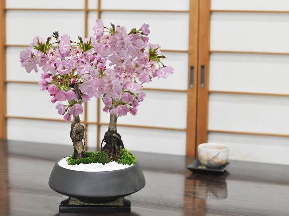 5月開花 桜の2本立ち 漆黒浅丸 受け皿付き