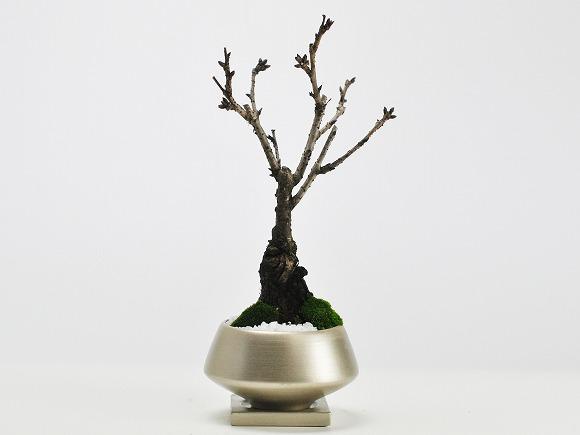 5月開花 旭山桜 中サイズ 金彩浅丸 受け皿付き