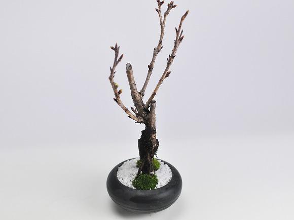 5月開花 遅咲きの桜盆栽