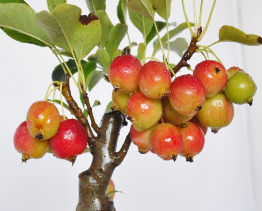 父の日 りんご 信楽焼 松皮鉢