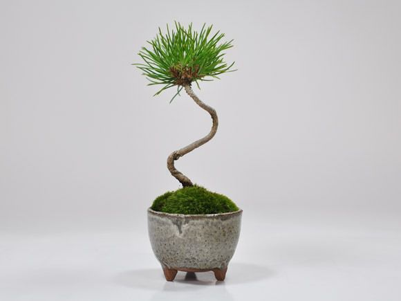 黒松のミニ盆栽