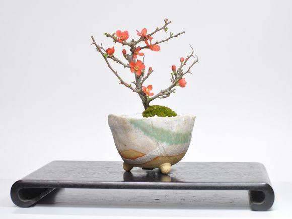 長寿梅信楽鉢