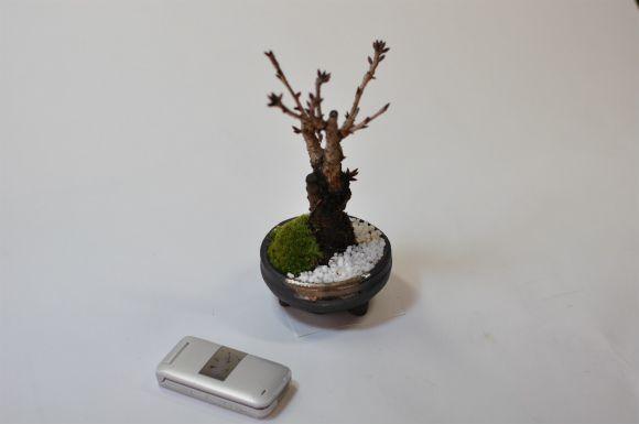 ミニ桜盆栽
