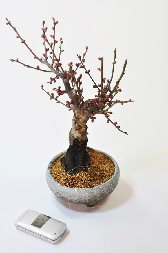 梅のミニ盆栽