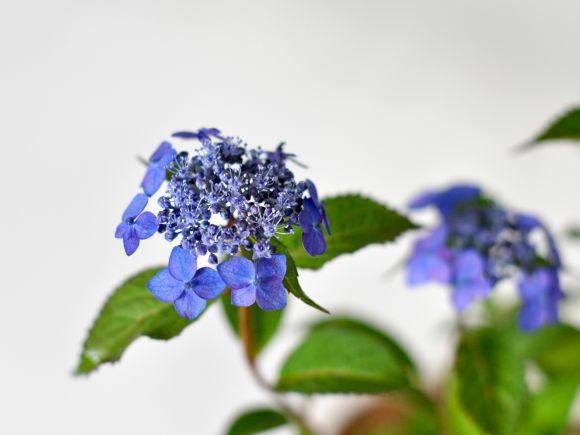 藍姫あじさい