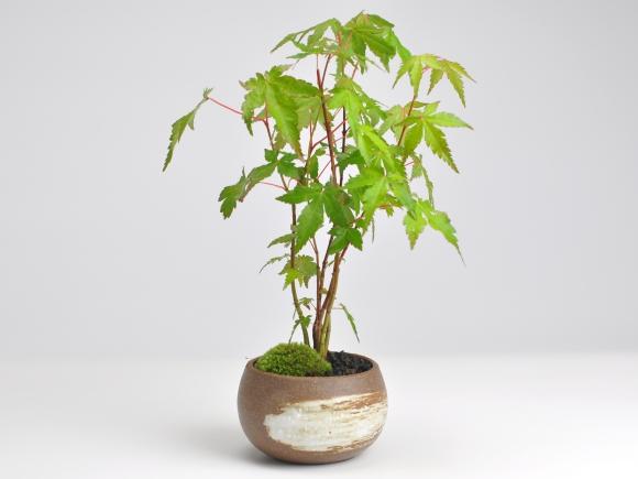 山もみじ藤久作手造り鉢