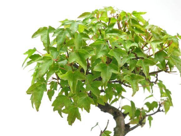 楓の寄せ植え
