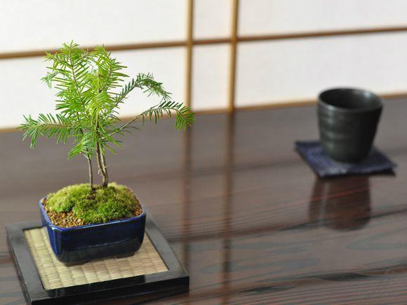 todomatsu-bonsai