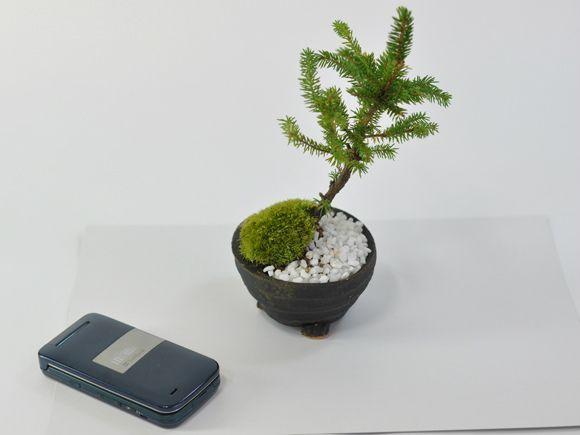 エゾ松盆栽