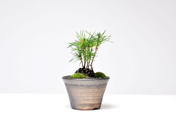 松ぼっくり盆栽