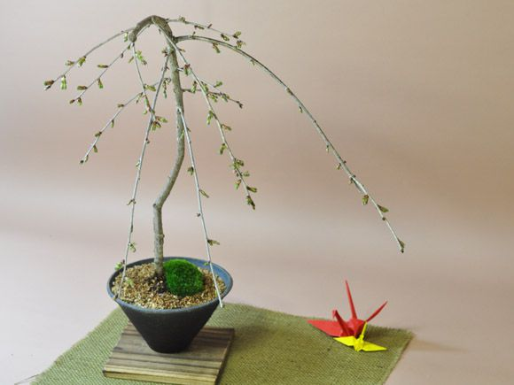 しだれ桜盆栽