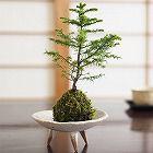 エゾ松の苔玉