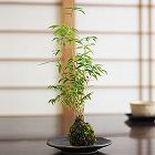 鳳凰竹の苔玉
