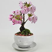 【母の日】遅咲きの満開桜 5月開花 白丸陶器 万古焼 受け皿付き