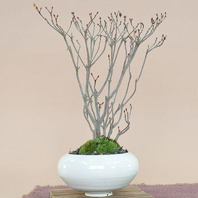 購入した盆栽