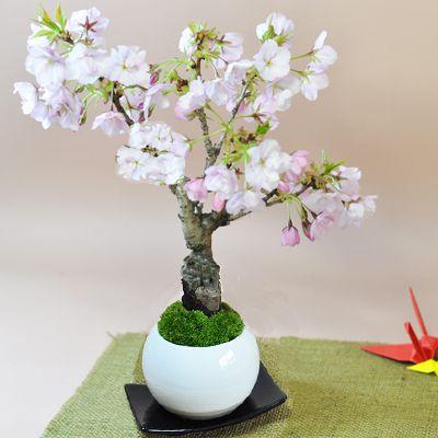 桜のモダン盆栽