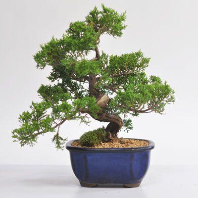 ジンシャリが見事な特選真柏の盆栽