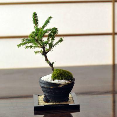 エゾ松 北海道産の松盆栽