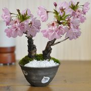ミニ桜2本