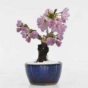 おためしチビ桜