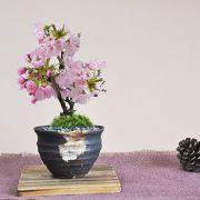 ミニ桜のつぼ鉢