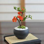 ミニ八重長寿梅 八重の花