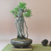 根上がりの黒松盆栽