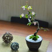 十月桜金彩鉢