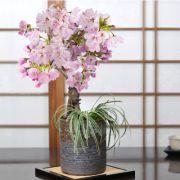 旭山桜と白竜の寄植え