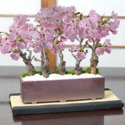 桜街道 ミニ桜5本植え 万古焼 モダン長方鉢