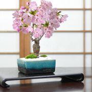 桜 モダン盆栽