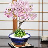 旭山桜 大 玉竜の寄植え