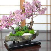 桜の豪華寄植え