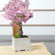 モダン盆栽 ミニ桜