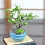 白花長寿梅 瑠璃紺和鉢
