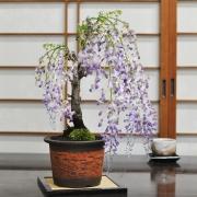 藤盆栽 太幹 信楽焼 朱焼陶器