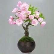 サクラの盆栽