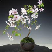 豆桜 瀬戸焼鉢